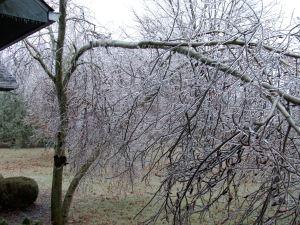 Caryn's Aspen Tree Iced