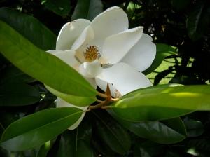 Pretty Magnolia!